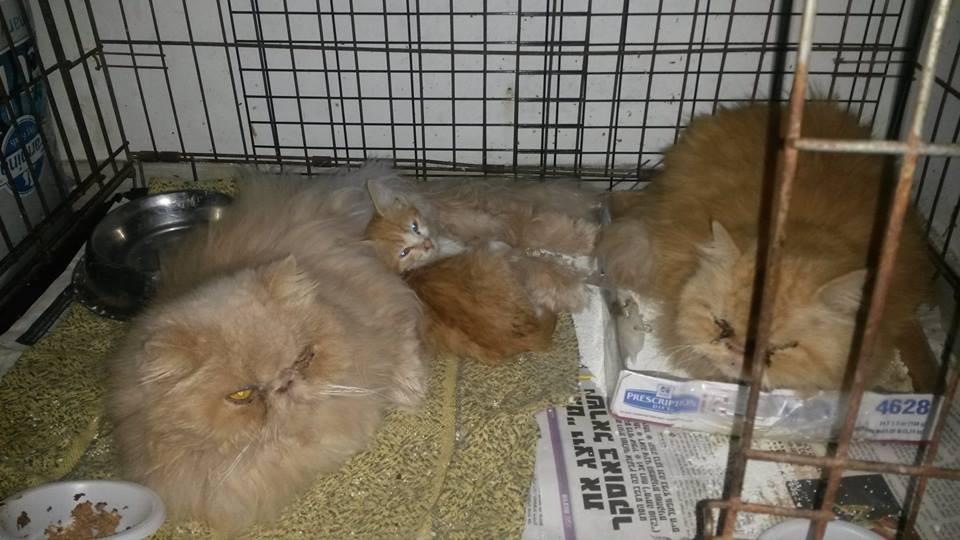חתולים פרסים קשישים הצלה