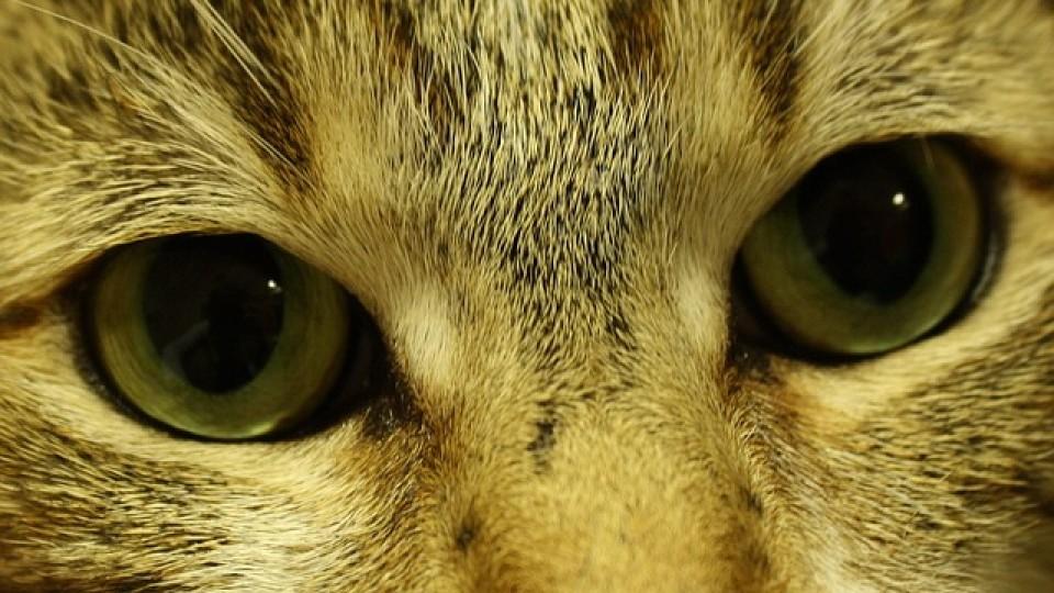 עיניים של חתול
