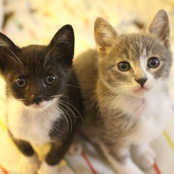 מותג חדש ראשון אוהבת חיות   חתולים לאימוץ BE-47