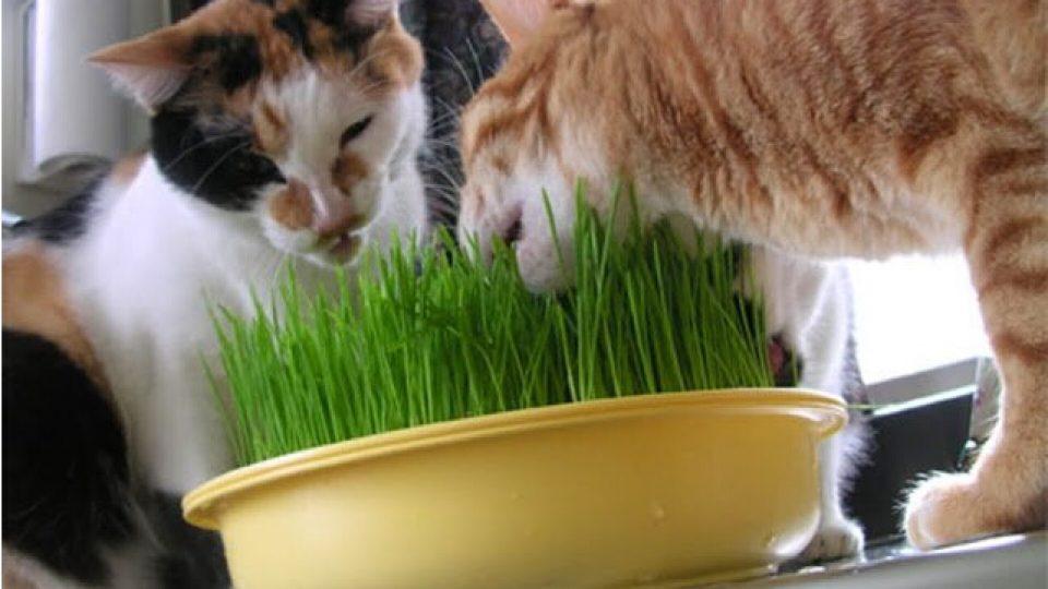 דשא בריא